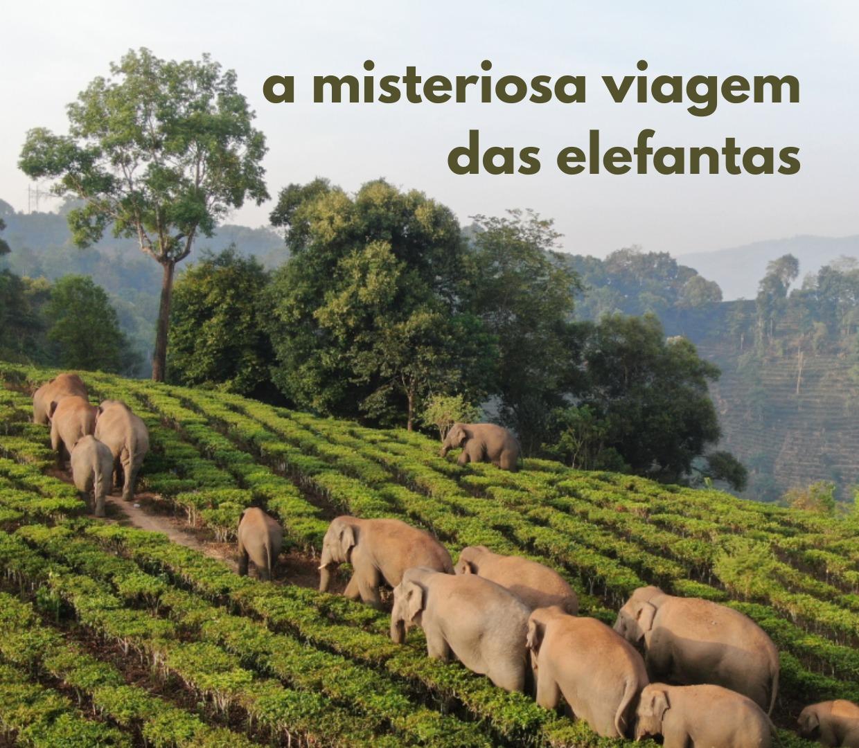 A misteriosa viagem das elefantas.