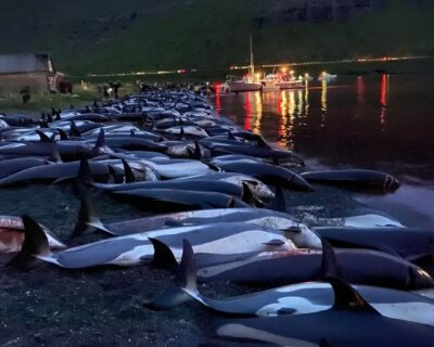 Os golfinhos das Ilhas Faroe